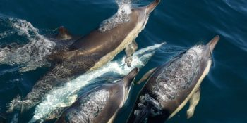 Zuid-Afrika-Marine-Conservation-Gansbaai-dolfijnen