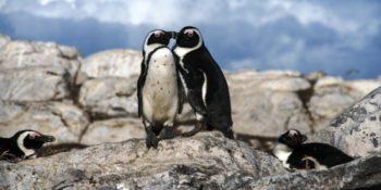 Zuid-Afrika Marine Conservation Gansbaai pinguins