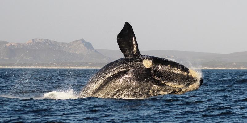 Zuid-Afrika Marine Conservation Gansbaai whales