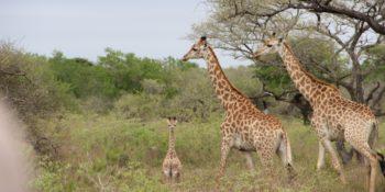 Zuid-Afrika Kwazulu Big 5 reservaten reisverhaal Martin Tembe Elephant Park 2