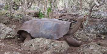 Ecuador Galapagos Annesietske schildpad