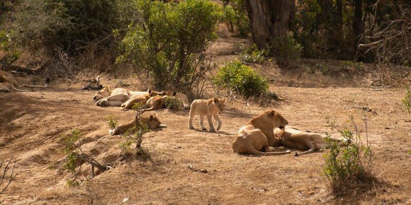 Zuid-Afrika Kruger Research and Conservartion Dieren Leeuwin met welpjes