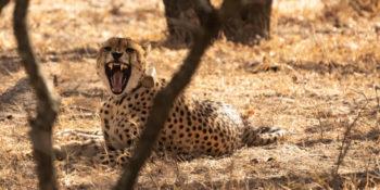 Zuid-Afrika Kruger Research and Conservartion Dieren in de bush. Cheetah