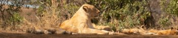 Zuid-Afrika Kruger Research and Conservation Dieren in the Bush