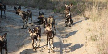 Zuid-Afrika Kwazulu Big 5 monitoring wild dogs