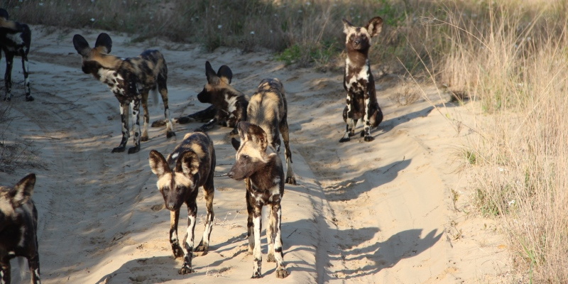 Zuid-Afrika Kwazulu Big 5 monitoring wild dogs