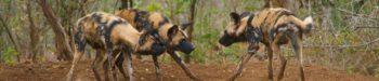 Zuid-Afrika Kwazulu Big Monitoring wild dogs