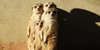Namibië Wildlife Research and rehab meerkatjes