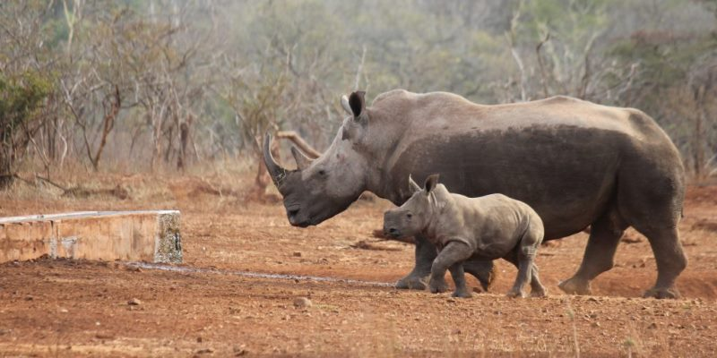 Zuid-Afrika Anti-Rhino poaching awareness project moeder neushoorn met kalfje 2
