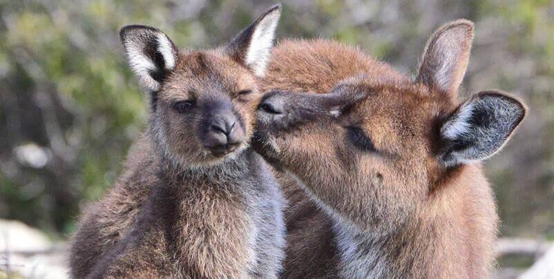 Kangaroo Island Wildlife Sanctuary Kangoeroe met jong 2