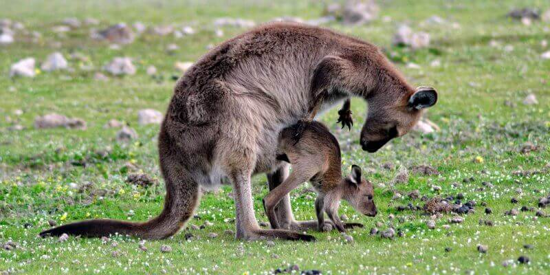 Kangaroo Island Wildlife Sanctuary Kangoeroe met jong