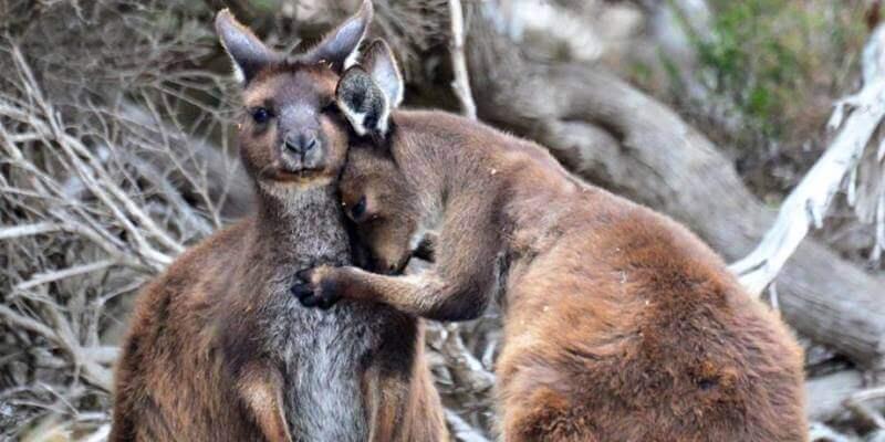 Kangaroo Island Wildlife Sanctuary Kangoeroes. 2jpg