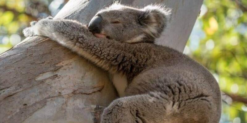 Kangaroo Island Wildlife Sanctuary koala 3