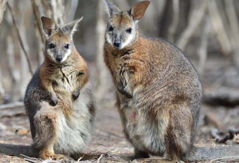 Kangaroo Island Wildlife Sanctuary walibi's