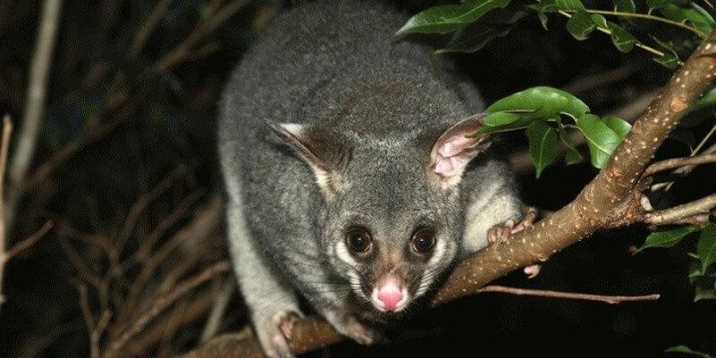 Kangaroo Island boomkangoeroe