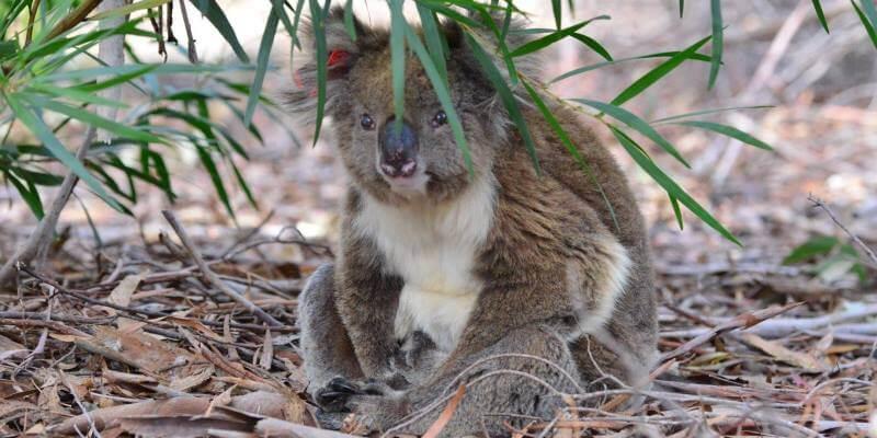 Kangaroo Island koala 2