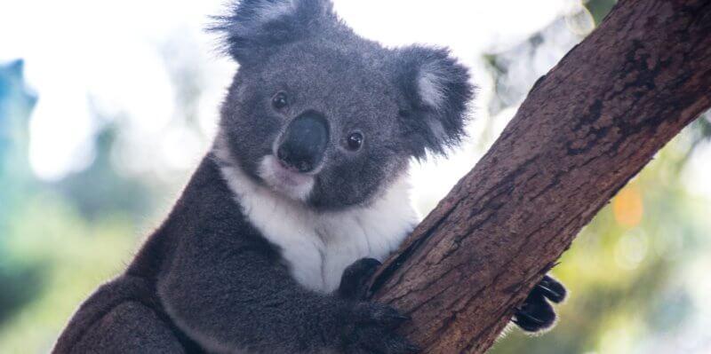 Kangaroo Island koala