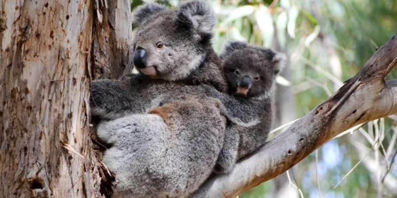 Kangaroo Island koala's