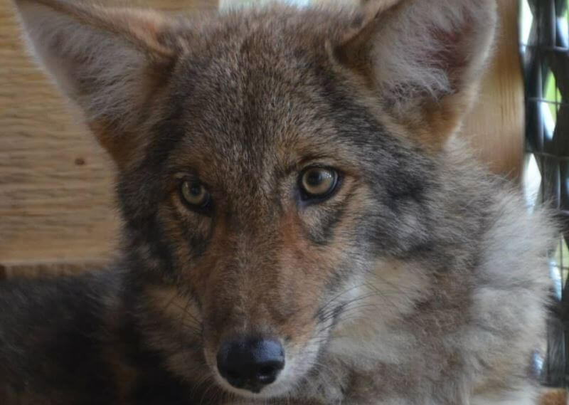 Canada Wildlife Rehab Ontario Coyote