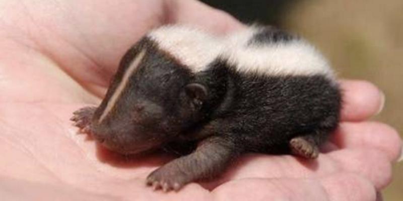 Canada Wildlife Rehab Ontario baby stinkdier