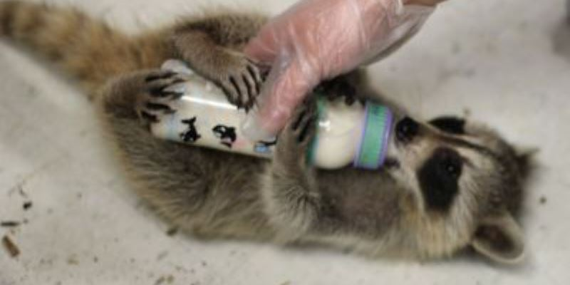 Canada Wildlife Rehab Ontario baby wasbeer