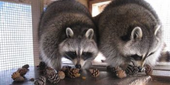 Canada Wildlife Rehab Ontario baby wasberen