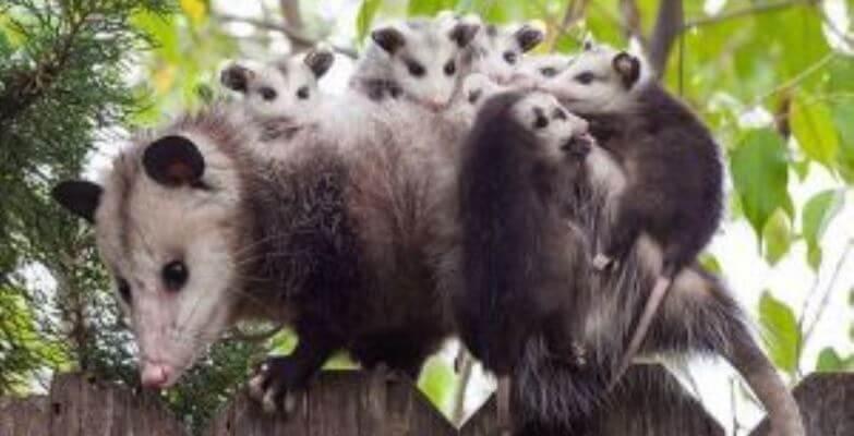 Canada Wildlife Rehab Ontario familie wasbeer