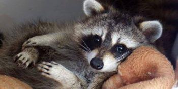 Canada Wildlife Rehab Ontario klein wasbeertje