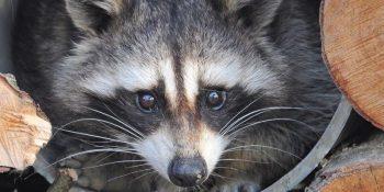 Canada Wildlife Rehab Ontario wasbeer