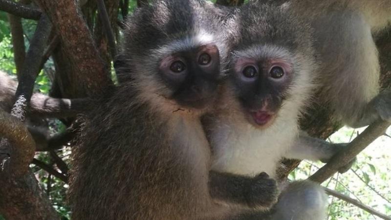 Monkey Rehab Vervet monkeys