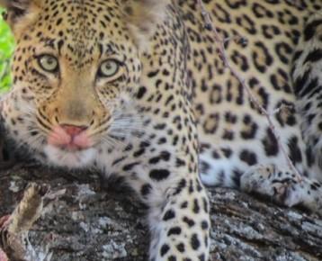 Big 7 Experience luipaard tegel