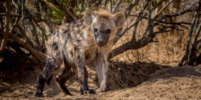 Fotografieproject Annelinde jonge hyena