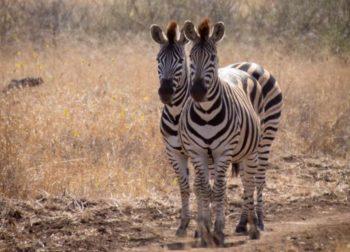 Fotografieproject Annelinde zebra's