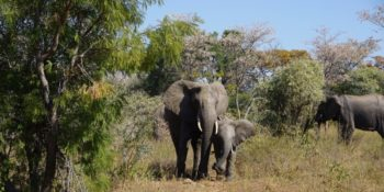 2 weken welgevonden olifanten