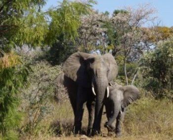 2 weken welgevonden olifanten tegel