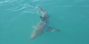 Gansbaai Marine Conservation haai