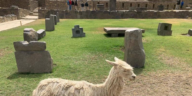 Naud in Peru lama