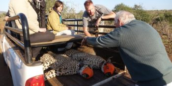 Conservation Training Course Cheetahs on Vehicle
