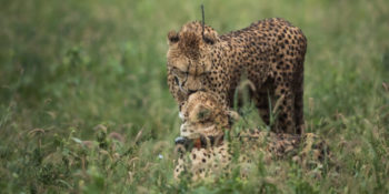 Conservation Training Course Collared Cheetah