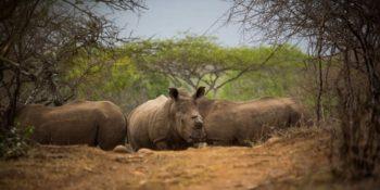 Conservation Training Course Dehorned Rhino on Somkhanda