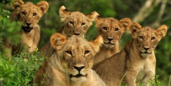 Conservation Training Course Lioness with Cubs