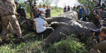 Conservation Training Course Sedated Elephant