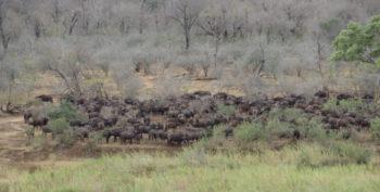 Kruger to Cape week 1 Krugerpark buffels