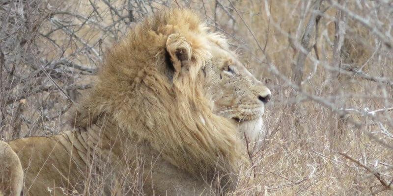 Kruger to Cape week 1 Krugerpark leeuw