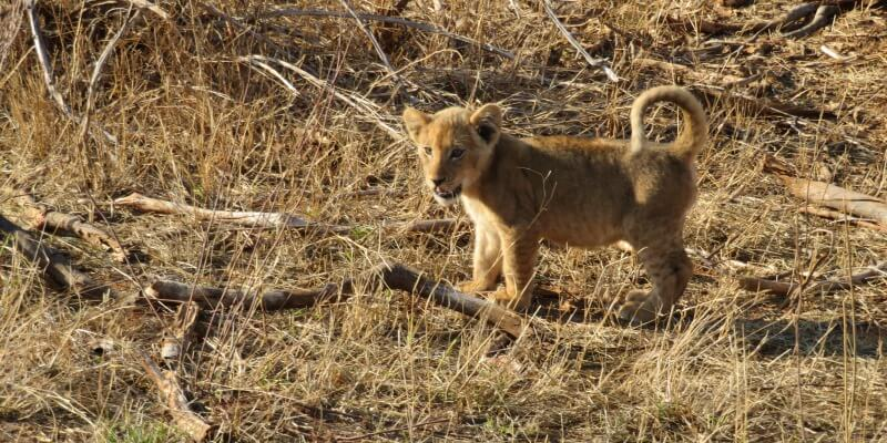 Kruger to Cape week 1 Krugerpark leeuwtje