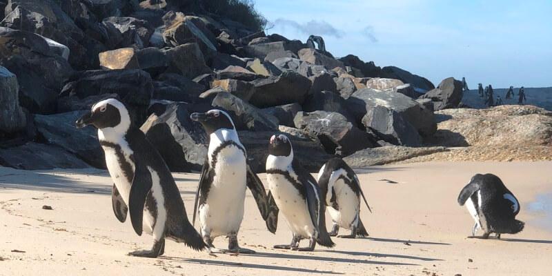 3 weken Kaapstad Pinguins