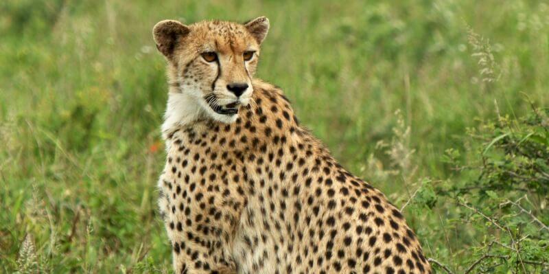Kwazulu Big 5 project cheetah