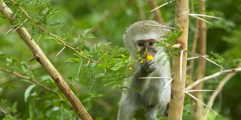 Kwazulu Big 5 project monkey