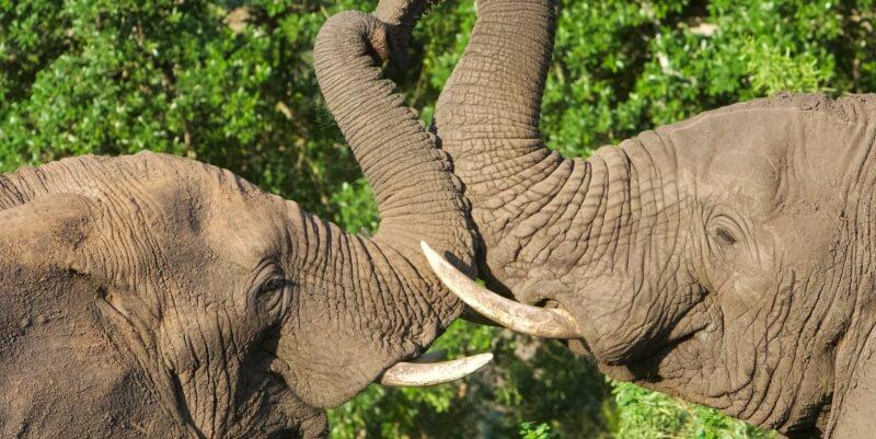 Kwazulu Big 5 project olifanten