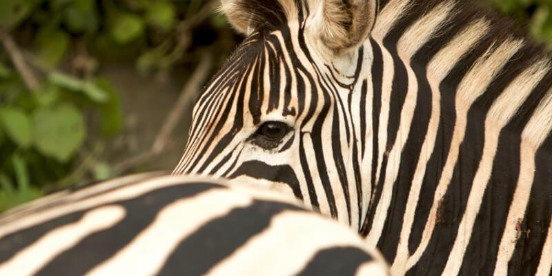 Kwazulu Big 5 project zebra